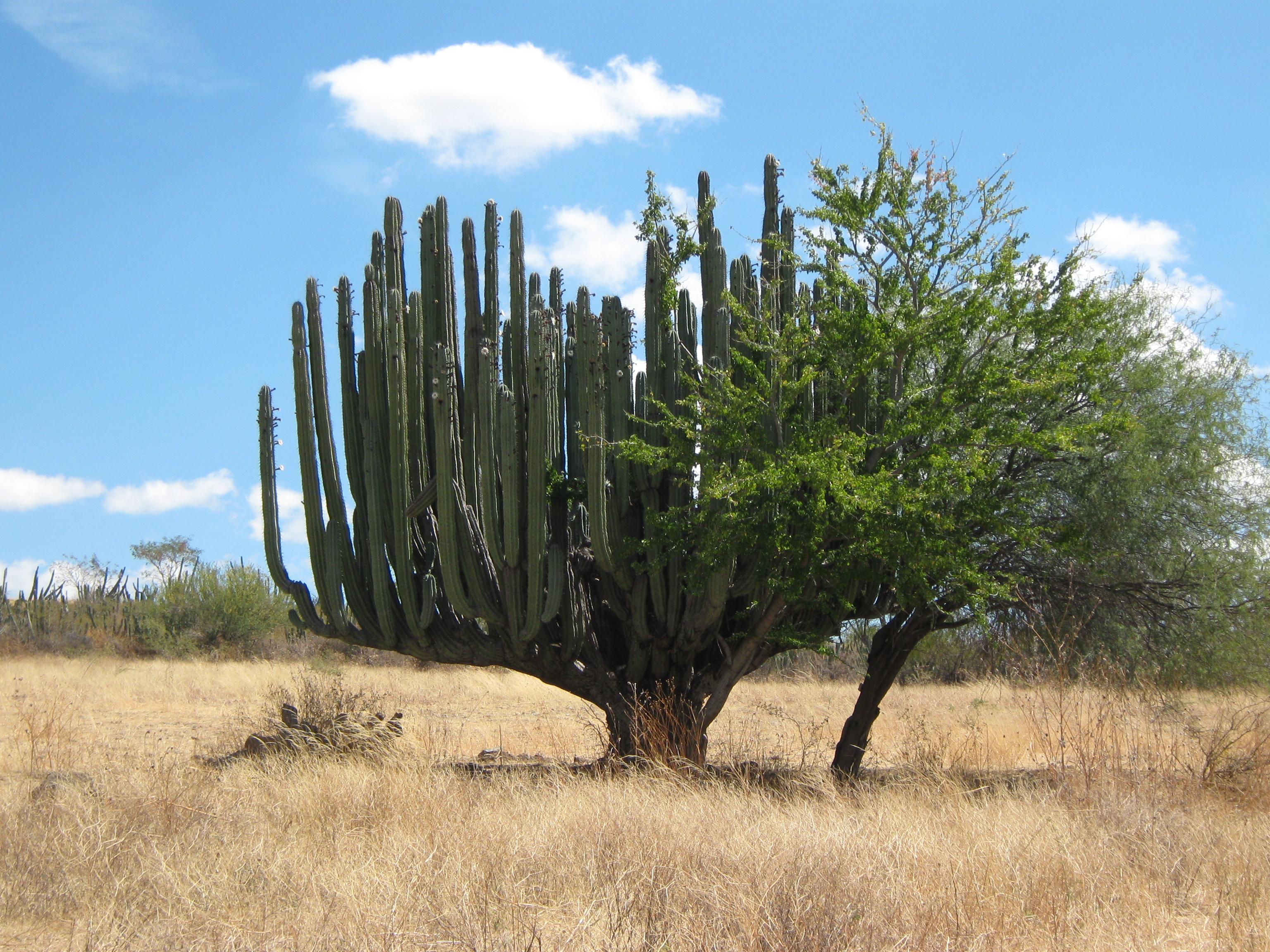 Giant cactus tree reader photos cactus jungle for Cactus santiago